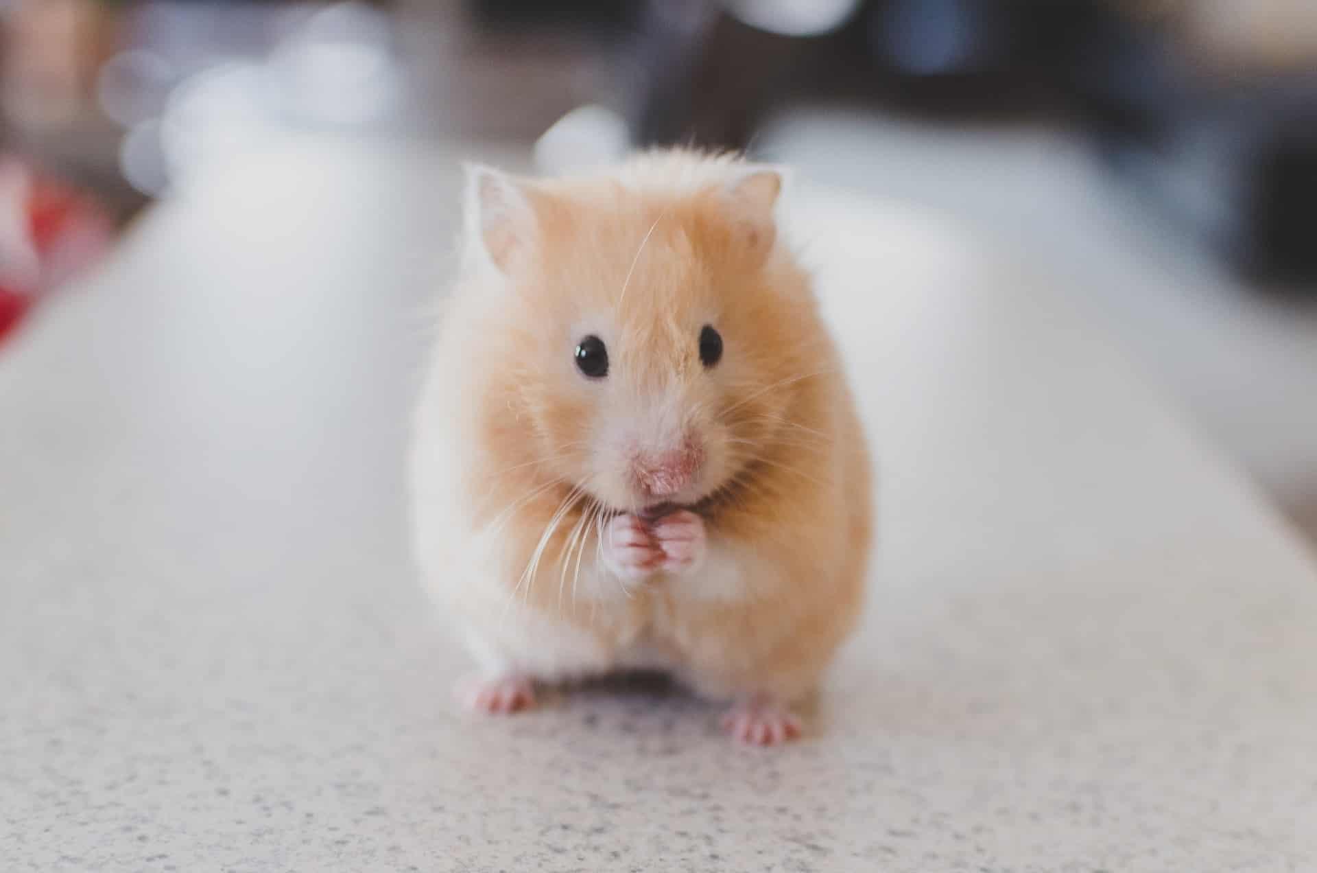 hamster doré syrien
