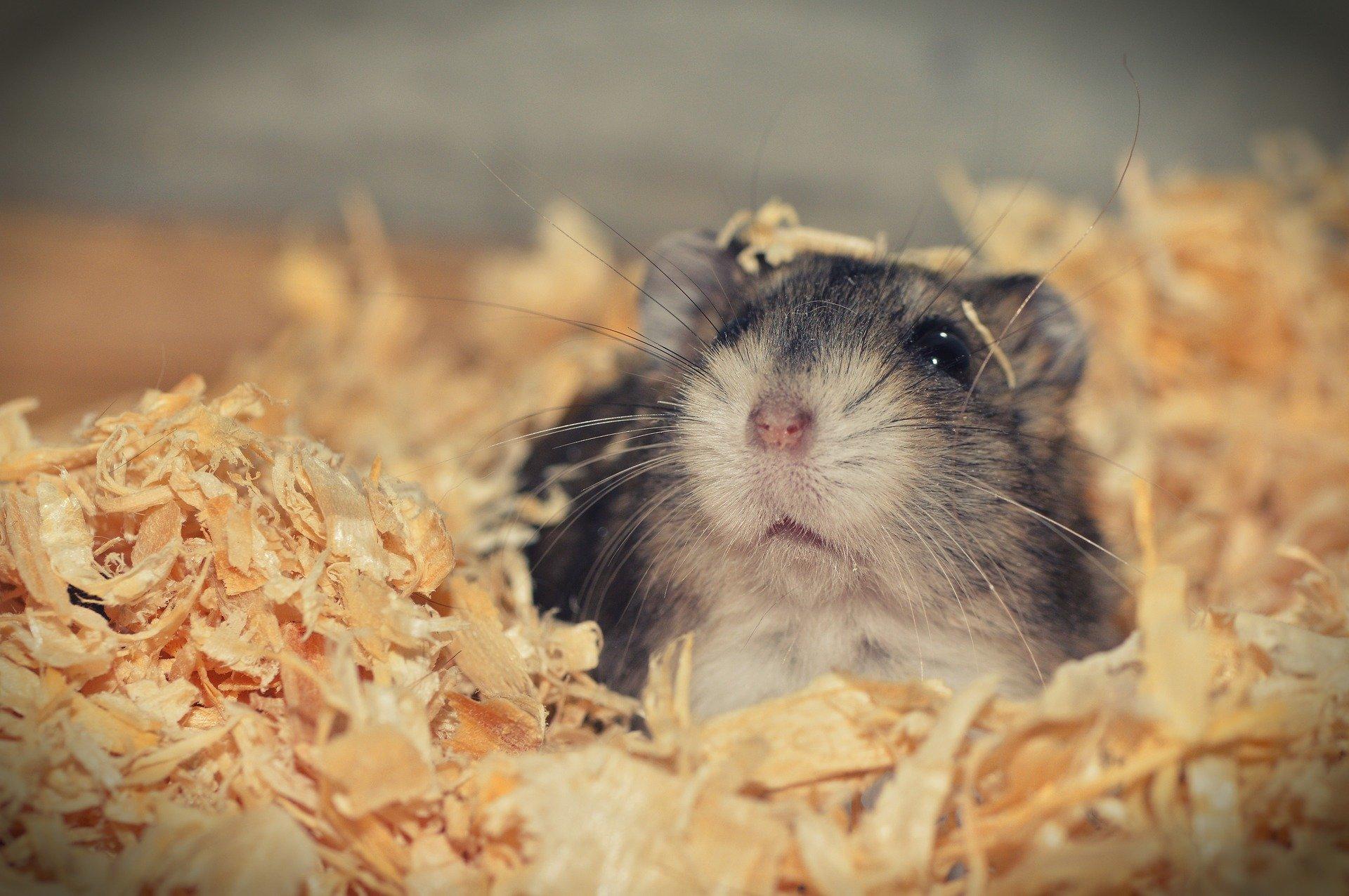 hamster sibérien